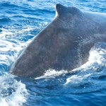 Humpback whale surfaces in Cabo harbor.
