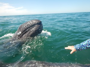 San Ignacio Lagoon is a protected area. Gray whales here are treated with respect and reverence.